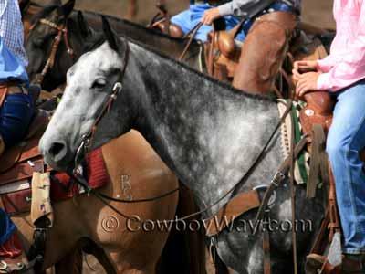 Dapple gray horse coat