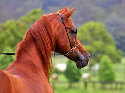An Arabian horse, the type models are patterned after