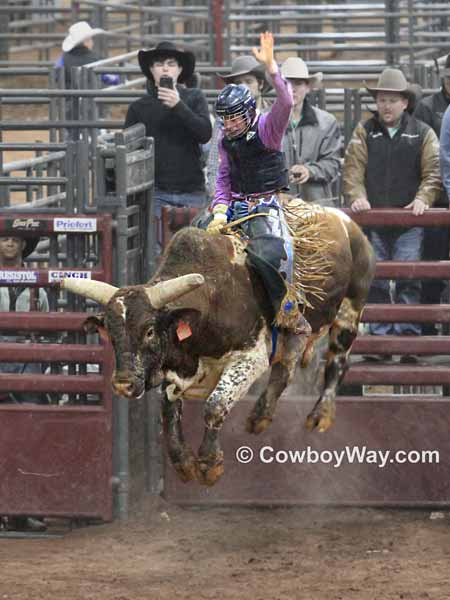 A yellow and white bull bucking into the air