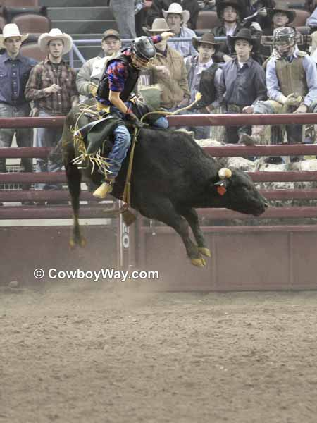 A bull rider looking good on a black and white speckled bull