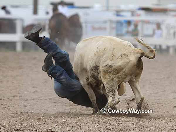 A steer wrestler getting thrown around by a steer