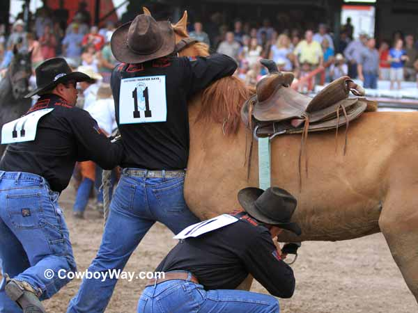 A team gets a saddle on a wild horse for the wild horse race