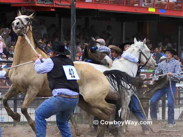 The wild horse race at Cheyenne Frontier Days