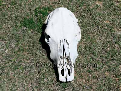 A cow skull lying in short grass