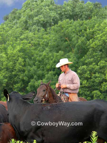A cowboy quietly herds cows
