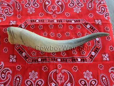 Cow horn off the skull