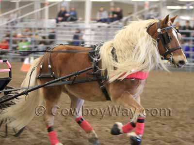 A Haflinger in harness