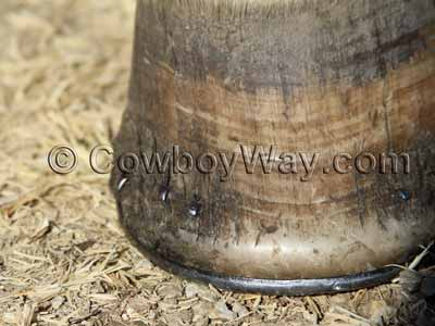 Horse hoof before conditioner