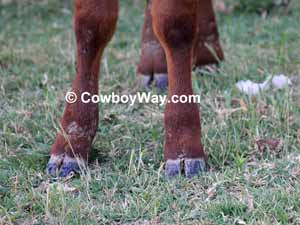 Calf hooves