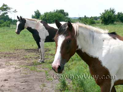 Two Pinto colored horses