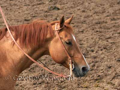 Horse colors: Red dun