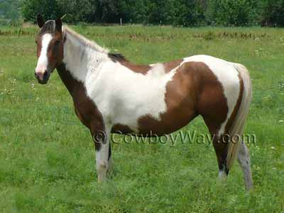 Horse colors: Skewbald