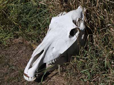 A horse skull lying in the grass