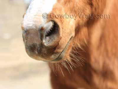 Nose and lip whiskers on a horse