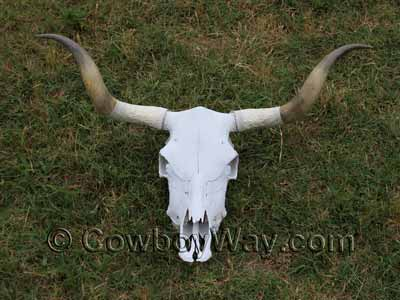 A cow skull painted white