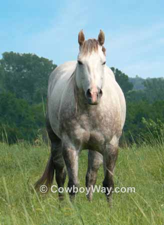 Picture of a gray horse