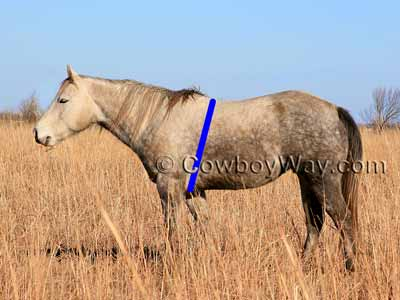 Estimate horse weight: Measure horse girth