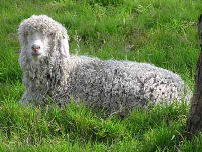 An Angora goat: Mohair is made from Angora wool