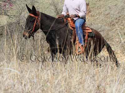 A mule in a roping saddle walks up a hillside