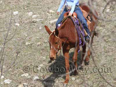 A mule on a trail ride
