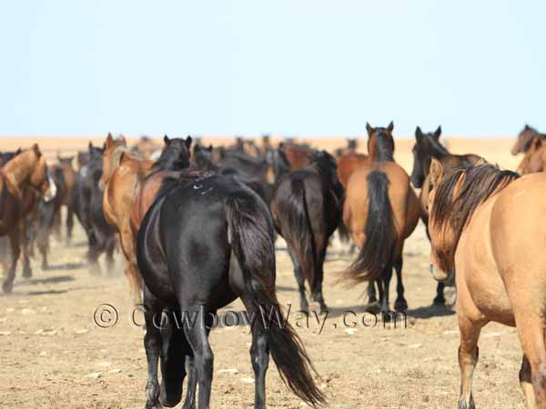 Horses, mustangs, loping away