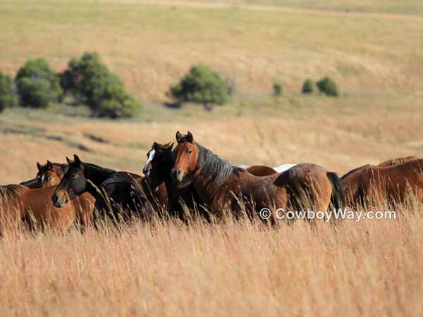 A growing herd of mustang horses