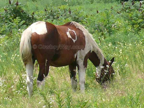 A Paint horse with an unusual marking