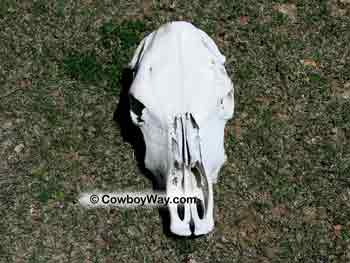 A polled cow skull