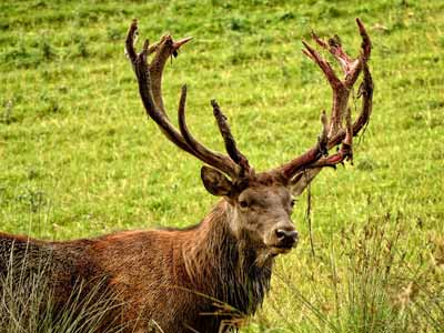 A male red deer with large antlers