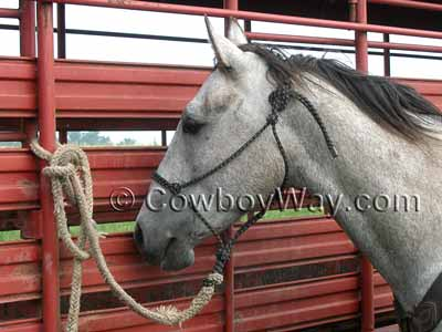 Gray horse wearing a rope halter