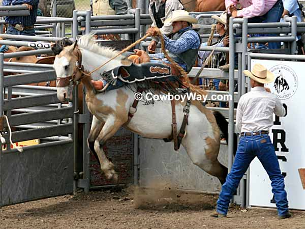 Saddle bronc riding: A Paint bronc leaves the chute
