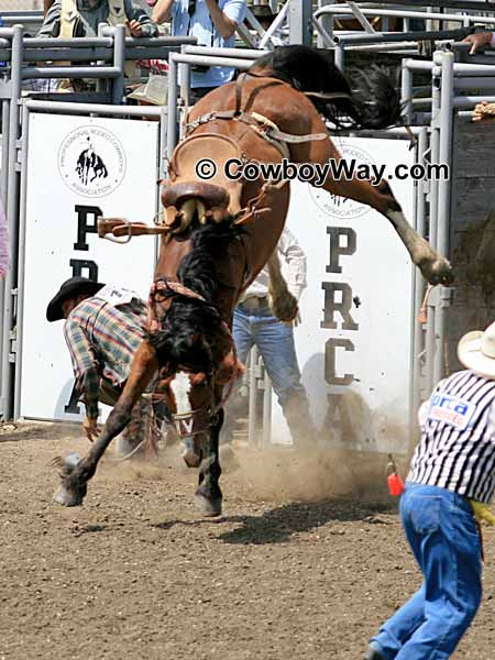 Saddle bronc riding is unpredictable: A bronc rider gets bucked off