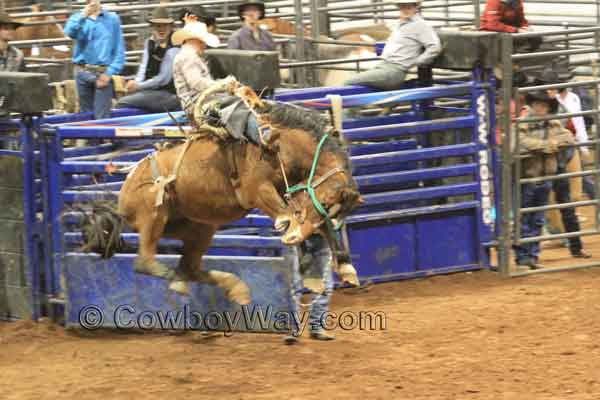 A saddle bronc rider leaves the bucking chute