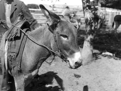 A slick fork saddle on a donkey.