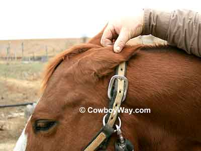 A bridle path is often trimmed to be as long as the horse's ear is tall