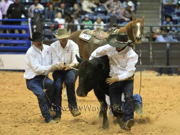 All four members of a ranch rodeo team try to mug and milk a cow