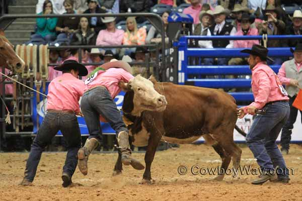 A wild cow lifts a cowboy off the ground
