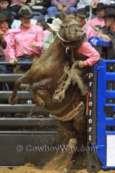 WRCA Ranch Bronc Riding 2014 - Bronc Rider Daniel Scribner get a rough trip out of the bucking chute