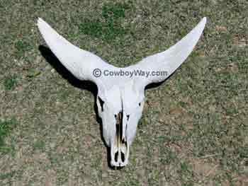 Watusi cow horns