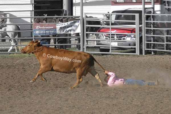 Ranch rodeo wild cow milking: A cowboy drags behind a cow