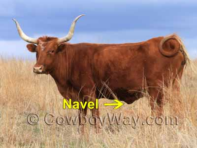 A navel on a cow. A navel is not a sheath.
