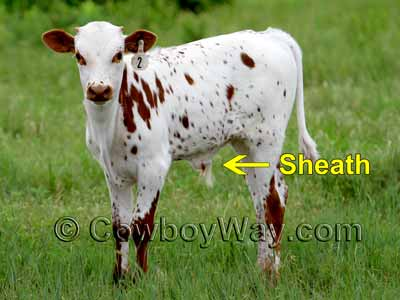 The sheath: A clue in how to tell a boy from a girl in cows